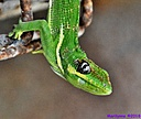 Cuban Lizard by Marilynne in Critters