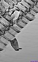 Black Crowned Night Heron by Marilynne in B/W