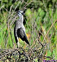 Yellow Crowned Night Heron by Marilynne in Wildlife