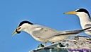 Common Tern by Marilynne in Wildlife