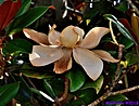 Magnolia Flower by Marilynne in Plants