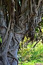Ficus Tree Roots by Marilynne in Plants