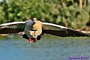 Eqyptian Goose by Marilynne in Wildlife