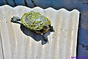 Red Eared Slider Turtle by Marilynne in Wildlife