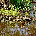 Snipe by Marilynne in Wildlife