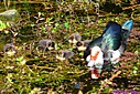 Muscovy Duck and chicks by Marilynne in Wildlife