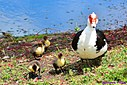 Muscovy Duck and chicks by Marilynne