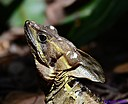Male Basilisk by Marilynne in Wildlife