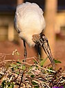 Wood Stork and chick by Marilynne in Wildlife