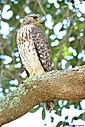 Juvenile Hawk by Marilynne in Wildlife
