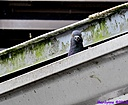 Rock Pigeon by Marilynne in Wildlife