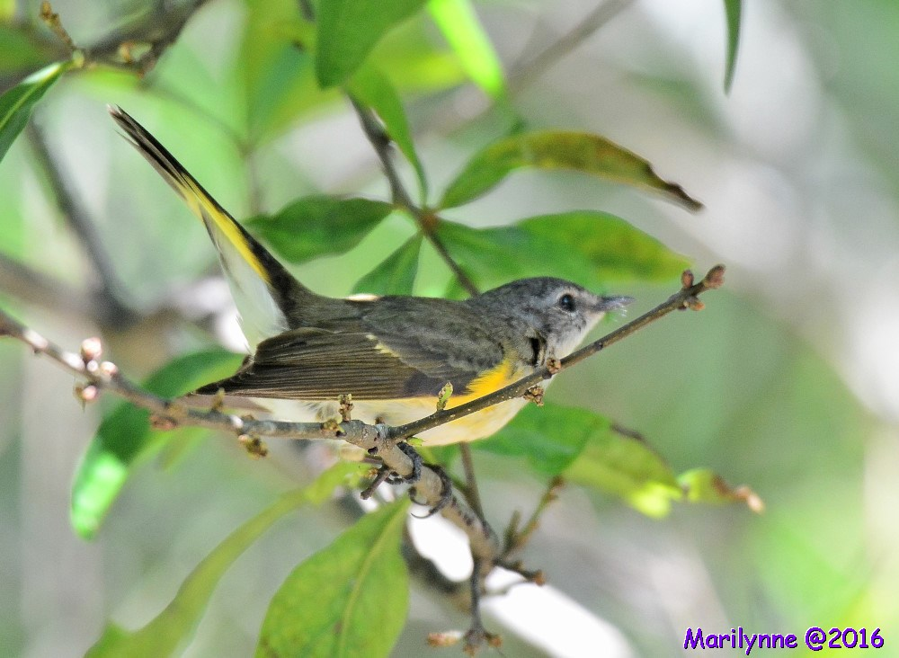 Female American Redstart by Marilynne in Wildlife