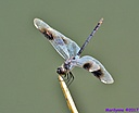 Pennant Dragonfly by Marilynne in Critters