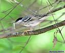 Male Blackpoll Warbler by Marilynne in Wildlife