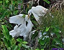 Juveniile Cattle Egret by Marilynne in Wildlife