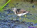 Solitary Sandpiper by Marilynne in Wildlife