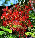 Royal Poinciana by Marilynne in Plants