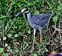 Yellow Crowned Night Heron by Marilynne