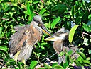 Juvenile Great Blue Heron by Marilynne