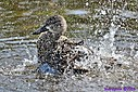 Female Blue Winged Teal by Marilynne