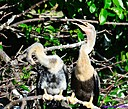 Juvenile Anhingas by Marilynne