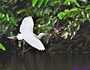 Juvenile Snowy Egret by Marilynne in Wildlife