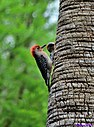 Red Bellied Woodpecker by Marilynne in Wildlife