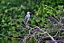 Juvenile Little Blue Heron by Marilynne in Wildlife