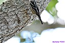 Black and White Warbler by Marilynne in Almost