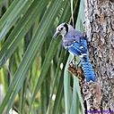 Blue Jay by Marilynne