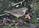 Northern Waterthrush by Marilynne in Wildlife