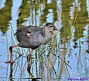 Juvenile Purple Swamphen