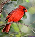 Male Cardinal  by Marilynne in Wildlife