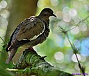 White Winged Dove by Marilynne