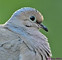 Common Ground Dove by Marilynne in Wildlife