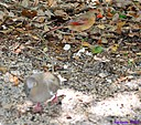 Female Cardinal White Winged Dove by Marilynne in Wildlife
