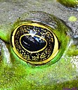 Bull Frog by Marilynne in Wildlife