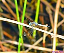 Blue Dasher by Marilynne in Critters