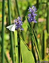 Great Southern White Butterfly by Marilynne