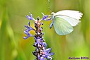 Great Southern White Butterfly by Marilynne in Critters