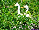 Great Egret chicks by Marilynne in Wildlife