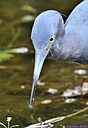 Little Blue Heron by Marilynne in Wildlife