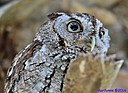 Eastern Screech Owl by Marilynne in Wildlife
