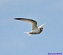Tern by Marilynne in Wildlife
