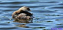 Pied Billed Grebe by Marilynne