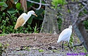 Cattle Egret by Marilynne in Wildlife