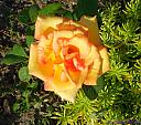 Yellow Rose by Marilynne in Plants
