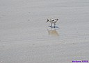 Semipalmated Sandpiper by Marilynne in Wildlife