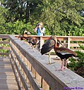 Black Bellied Whistling Duck Photographer by Marilynne in Wildlife
