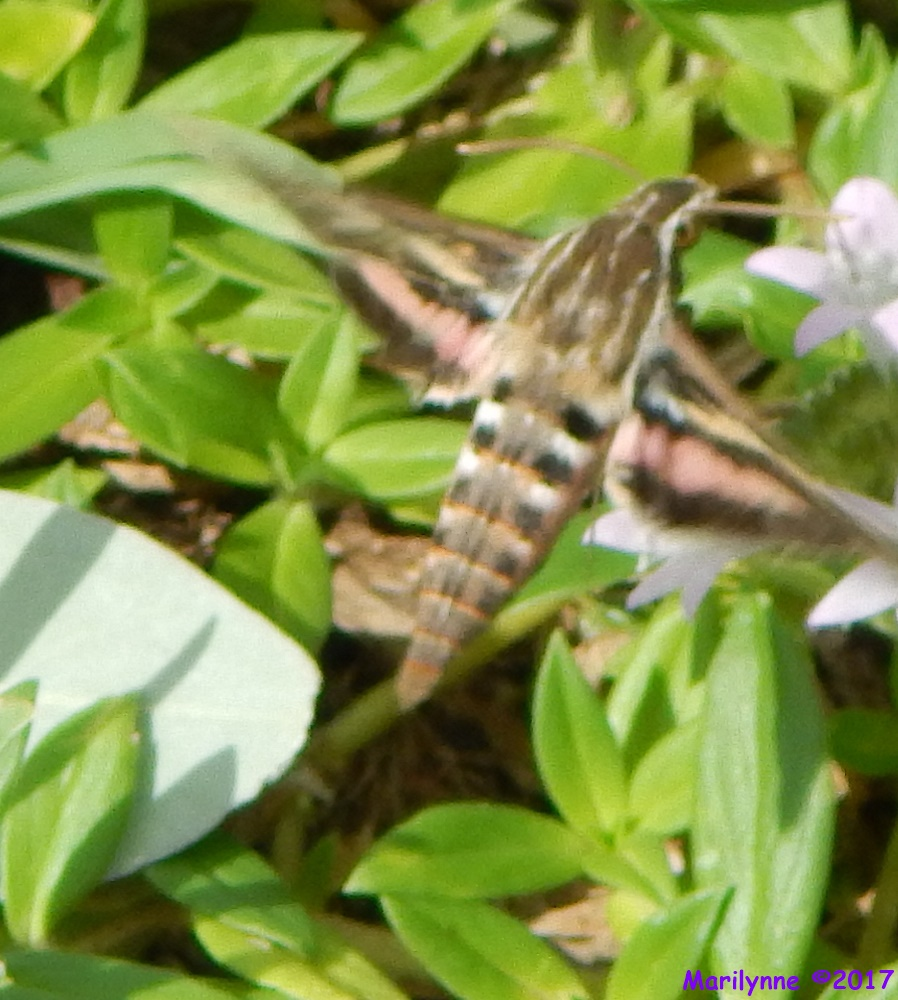 Hummingbird Moth by Marilynne in Almost